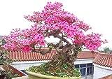 10 Partikel/Lot japanischen Sakura Samen Bonsai Blume Kirschblüten Kirschbaum Zierpflanze für Hausgarten