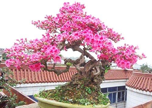 10 particules / Lot japonais Sakura Graines Bonsai Fleur de cerisier Cerisier Plante ornementale Pour jardin