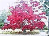30 Samen von roter Spitze Blatt Japanischer Ahorn, Acer palmatum Atropurpureum Dissectum