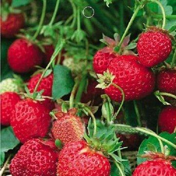 1-borsa-50-semente-biologica-fragola-fragaria-ananassa-deliziosi-frutti