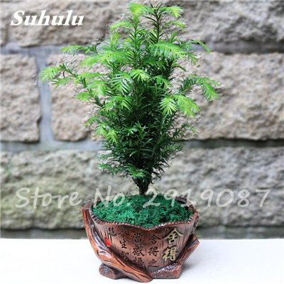 3 Medium Luft (Wald Bonsai Metasequoia Dämmerung Mini Redwood Evergreen Zierbaum Pflanzen Topfinnen Büro reinigen die Luft So Fresh 50 PC 3)