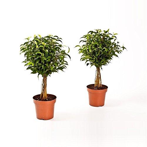 Birkenfeige Hochstamm, Ficus Babilatos, Bonsai, (Ficus babilatos), asiatischer Bonsai, verschiedene Größen