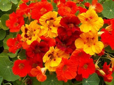 nasturtium-tropaeolum-jewel-mix-150-finest-seeds