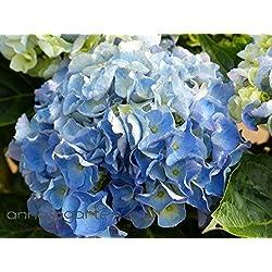 Bauernhortensie / Gartenhortensie `Music-Collection'´ in verschiedenen Farben Farbe blau