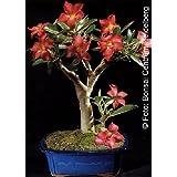 Tropica - bonsái - Rosa del desierto (Adenium obesum) - 8 semillas
