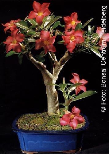 Tropica - Bonsaï Rose du désert (Adenium obesum) - 8 graines