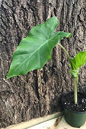 PLAT FIRM GERMINATIONSAMEN: Alocasia Portora Tropical Aroid Plant (12†Pflanze) -