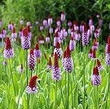 Wasserpflanzen Wolff - Primula vialii - Orchideenprimel, rot-violett