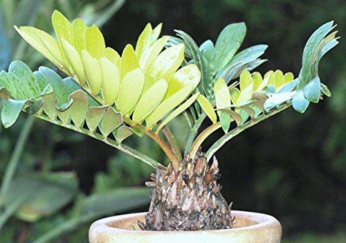 50 graines carton Cycas Palm, Zamia furfuracea Sago Plante Arbre mexicaine Graine