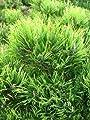 Bergkiefer, Pinus mugo var. mughus Krummholzkiefer 30 cm breit im 3 Liter Pflanzcontainer von Plantenwelt Wiesmoor auf Du und dein Garten