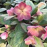 Lenzrose 'Pink Frost' - Helleborus Gold Collection - apricot-terracota-rote Christrose- Die Lenzrose als Winterblüher für den Garten - Nieswurz von Garten Schlüter - Pflanzen in Top Qualität