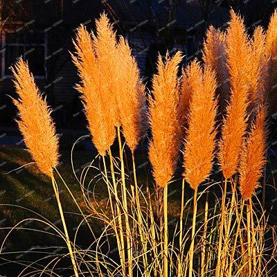 Pinkdose 500 pièces/sac New Rare Impressionnant bonsaïs rouge pourpre jaune herbe Pampas Patio et jardin des plantes ornementales en pot nouvelles fleurs: orange