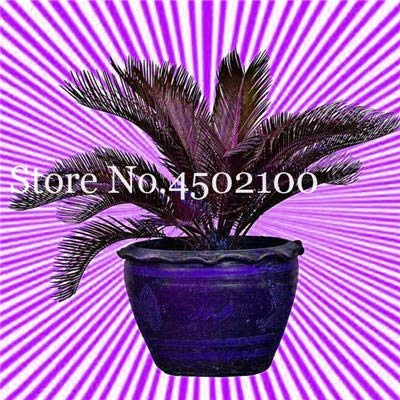 pinkdose 5 pz blue cycas bonsai, sago palm tree plant, cycas tree, raro pianta in vaso per giardino domestico pianta paesaggio popolare facile da coltivare: 3