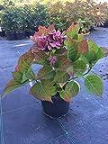 Bauernhortensie Kardinal 30-40 cm Strauch für Hell-Halbschatten Hortensie dunkelblau-pink-rot blühend Gartenpflanze winterhart 1 Pflanze im Topf