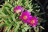 Delosperma sutherlandii - winterharte Eispflanze - 15 Samen