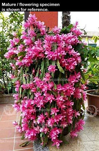 PLAT FIRM KEIM SEEDS: 1 x rot wurzelt Pflanze: Weihnachtskaktus Schlumbergera Schneide- oder verwurzelt saftig rosa rot weiß lila