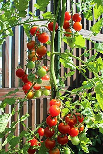10 Samen Mexikanische Honigtomate – zuckersüße und pflegeleichte Sorte