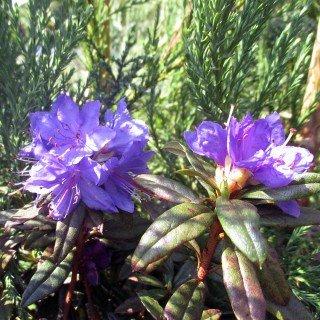 rhododendron-russatum-gletschernacht