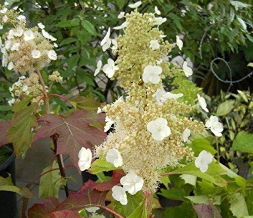 Eichenblatthortensie Sike`s Dwarf - Hydrangea quercifolia Sike`s Dwarf