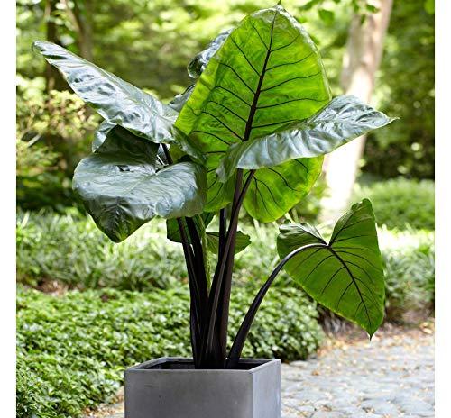 Shoppy Star: 3 Große Elefantenohr Stem Black -Colocasia esculenta- hinzufügen tropischen Blick
