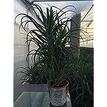 Aloe arborescens Certificata Bio 4/5 anni per ricetta Padre Zago