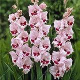 Echte Gladiolen Zwiebeln Gladiolen Blume (nicht Samen) schöne Blumenzwiebeln symbolisiert Nostalgie Hausgarten Pflanze Bonsai-2bulbs