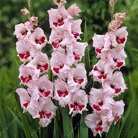 vero gladiolo fiore di gladiolo lampadine (non semi) belle bulbi da fiore simboleggia nostalgia pianta casa giardino bonsai-2bulbs