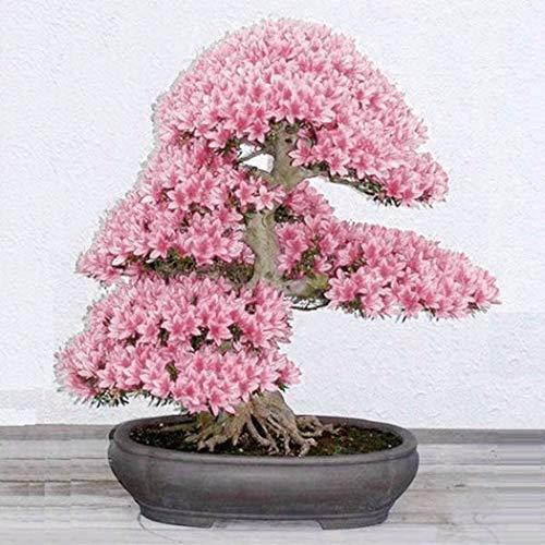 Anitra Perkins – selten 10 Korn Japanische Blütenkirsche Sakura-Samen winterhart Bonsai Samen Kirschblüte Hof Topfpflanze Reich am Stamm blühender Freiland-Bonsai