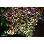 Biotope Aquatics Ltd - 50 Live Aquarium Plants Tropical Aquatic Plants for your fish tank - rooted and stems 16