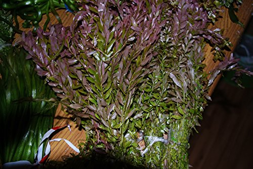 Biotope Aquatics Ltd - 50 Live Aquarium Plants Tropical Aquatic Plants for your fish tank - rooted and stems 7
