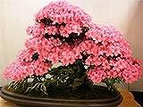Soteer Garten - 10 Stück japanischen Sakura Samen Bonsai Topf-Kirsche-Blüten Blütenkirsche Baumsamen exotisch Topfpflanzen Saatgut mehrjährig winterhart