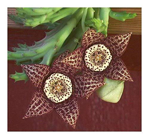 Orbea variegata - synonyme: Stapelia variegata - 5 graines