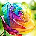 Begorey Garten-100 stück Rosensamen Edelrose Blumensamen Regenbogen Rose Bunte Blumen Samen für Ihr Garten Balkon Lange Blütezeit winterhart von Begorey auf Du und dein Garten
