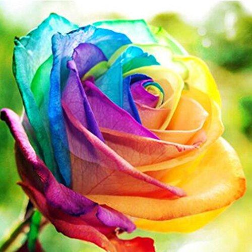 Begorey Garten-100 stück Rosensamen Edelrose Blumensamen Regenbogen Rose Bunte Blumen Samen für Ihr Garten Balkon Lange Blütezeit winterhart