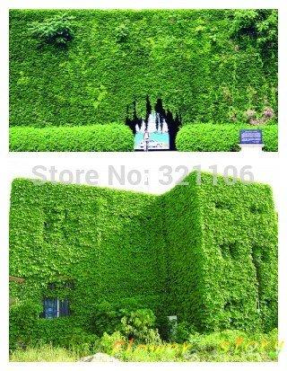 40(Bostonian Ivy/Wand Ivy) Dreispitzige Jungfernrebe Berberitze Vine Klettern Blattwerk Pflanzen Blume Samen Aussaat Jahreszeiten Yi