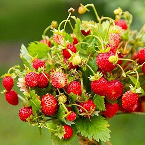 20/50pcs Wald Erdbeere Samen Rote Erdbeere Pflanze Samen Rarität essbar Obst Saatgut Bonsai Balkon Garten Pflanze