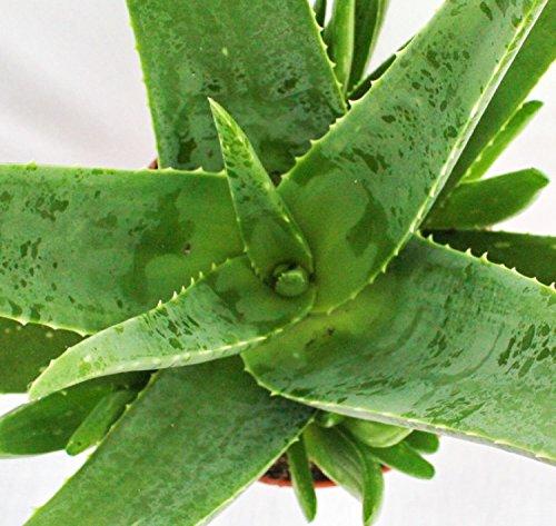 Aloe Vera – ca. 7-8 Jahre alt – 21cm Topf, riesige und sehr alte Pflanze - 3