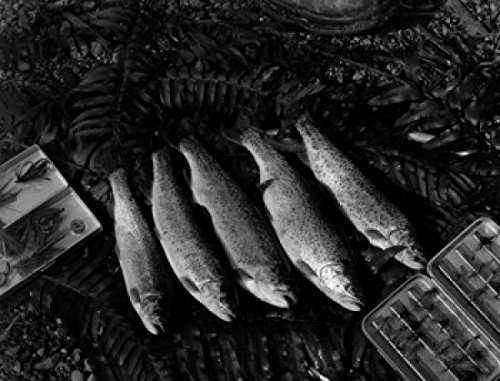 Close up of caught rainbow trouts Poster Drucken (45,72 x 60,96 cm) -