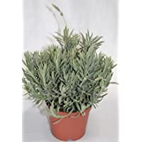 Lavanda (Maceta 19 cm Ø) - Planta viva - Planta aromatica