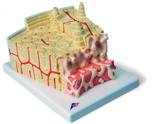 3B Scientific Menschliche Anatomie – MICROanatomy ™ Knochenstruktur – 80-fache Vergrößerung