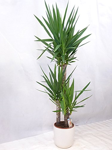 [Palmenlager] - Yucca elephantipes 180 cm - 3er Tuff // Zimmerpflanze - Yucca Palme