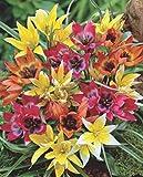 Wildtulpen gemischt Botanische Tulpen 50 Blumenzwiebeln -