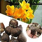 Shoopy Star 20pcs Gelbe Mimosa Bonsai Flowers 'Samen' Mimose Home Garten
