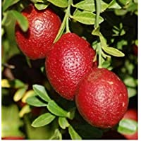 Portal Cool Rara Citrus limon Red 5 semillas frescas