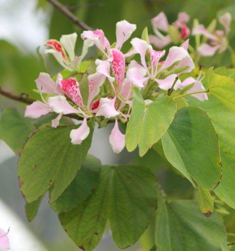 orchideenbaum-rosa-10-samen-bauhinia-monandra-bluhende-exoten