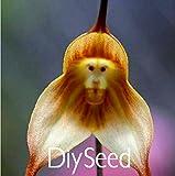 Affe Gesicht Orchideen Samen 100 Stück Mehrere Sorten Bonsai Pflanzen Samen für Haus & Garten Blumen Pflanzer Schöne, # XKPHSQ