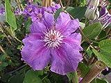 Clematis Hybride 'Ashva' im Topf gewachsen 40-60cm mit blau-roten gestreiften Blüten