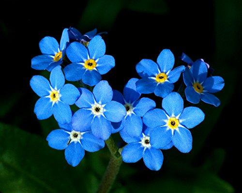 10g-15000-seeds-forget-me-not-seeds-myosatis-arvensis-wild-flower-fresh-meadow-bn