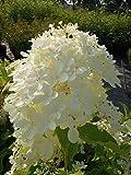 Rispenhortensie Phantom 40-60 cm Strauch für Sonne-Halbschatten Zierstrauch weiß-rosa blühend