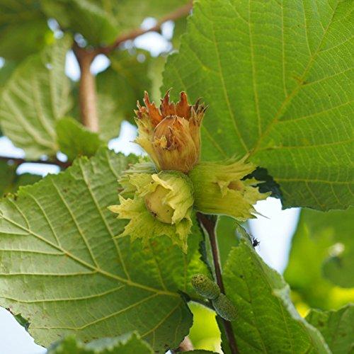 Dominik Blumen und Pflanzen, Haselnuss